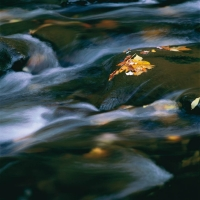 Blaetter-im-Fluss-Great-Smoky-Mts-NP-Tennessee-USA-1999.jpg